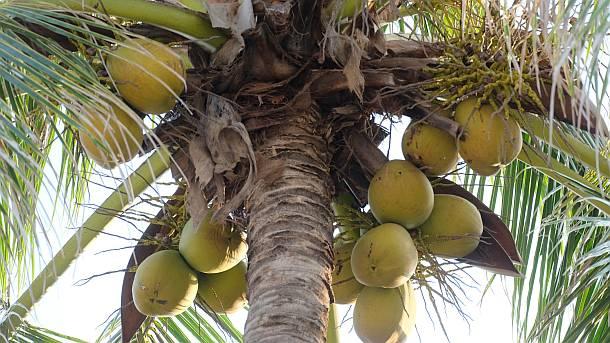 Kokosnuss,Phuket,Asien,Reise,Tourismus,Medien
